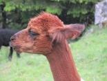 Alpakawolle - Babypullover aus dem Streichelzoo